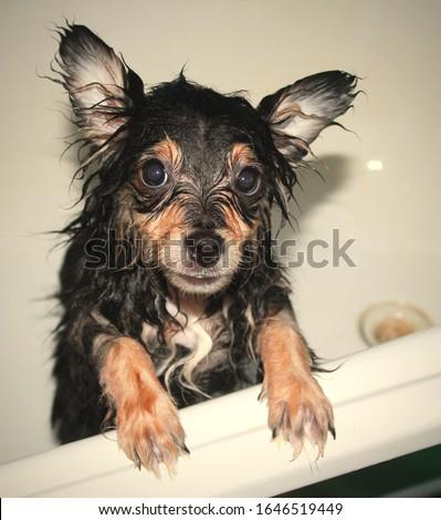 собачка домашняя животные домашние любимые животные sobachka domashnyaya zhivotnyye domashniye lyubimyye zhivotnyye doggy pets pets favorite pets #1646519449