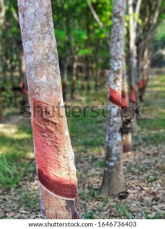 Rubber trees, with rubber tapping. #1646736403