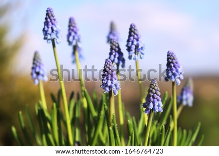 Muscari spring flowers on a background of a spring landscape. Spring sunny day. Close-up. #1646764723