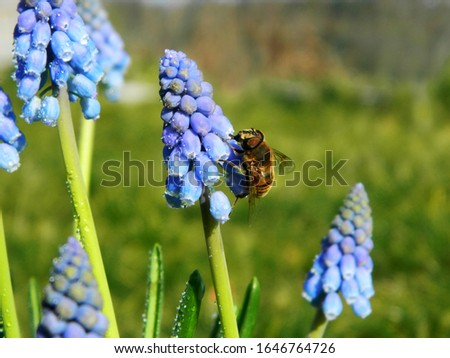 Muscari spring flowers on a background of a spring landscape. Spring sunny day. Close-up. #1646764726