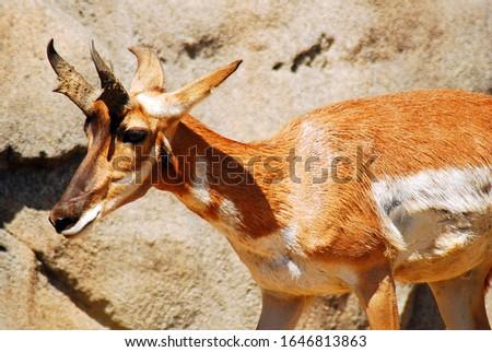 A gazelle stands along a rocky cliff