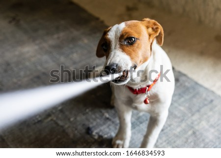 Young Jack russel terrier with necklace plays with a peace of clothing  andloking up to the master. Playfull dogs breeds. #1646834593