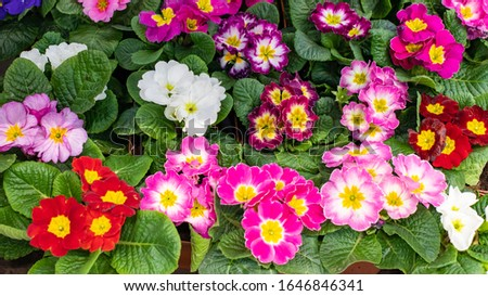 Primula primrose blossom bloom background backdrop design panoramic. Red pink maroon burgundy cultivated flower blooming. Panorama of Primula primrose in a pot top view