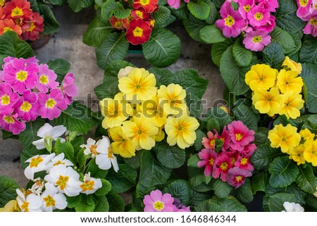 Yellow pink blossom Primula primrose primrose backdrop design, natural fresh blooming flower Primula primrose in a pot with leaves, horizontal