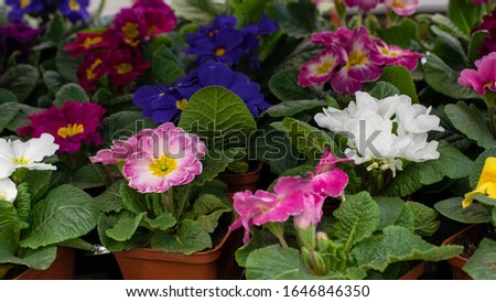 Primula primrose blossom bloom background backdrop design. Blue pink white flower blooming. Primula primrose in a pot on a flower shop window