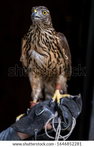 The sparrow-hawk on a black background