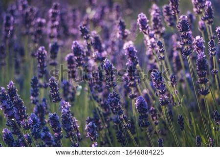 Lavender flowers. Blooming lavender. Aromatic lavender flowers under the bright sun. Selective focus. A lot of tiny blue flowers on meadow. Sunny day. Filled frame picture. Freshness, purity, romantic