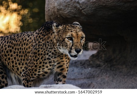 Terrifying Cheetah Posing for pictures