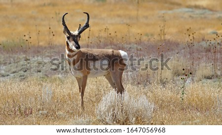 pronghorn antelope in colorado in a field Royalty-Free Stock Photo #1647056968