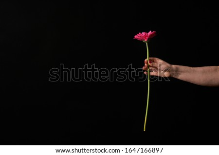 Hand holding pink gerber daisy isolated on black background. Flowers in hand Royalty-Free Stock Photo #1647166897