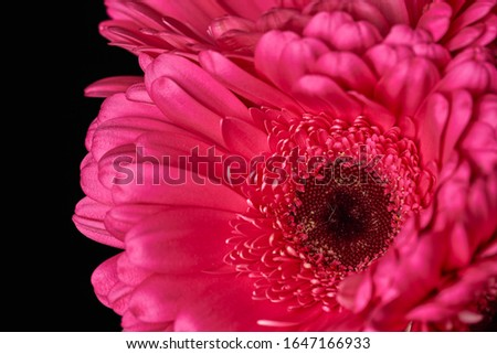 Beautiful blooming pink gerbera daisy flower on black background. Close-up photo.