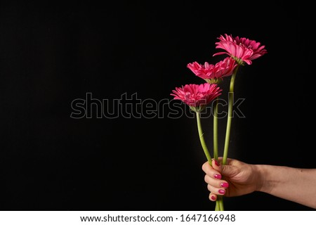 Hand holding pink gerber daisy isolated on black background. Flowers in hand Royalty-Free Stock Photo #1647166948