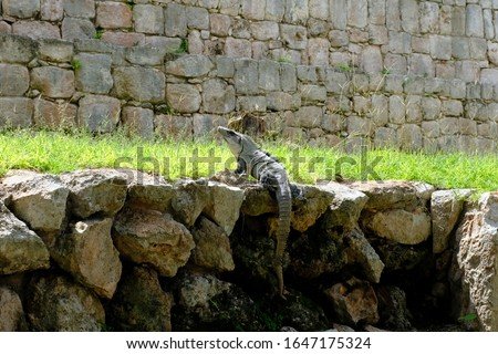 Wild Iguana is climbing and sunbathing on the rock. Iguana is a herbivorous lizards that are native to tropical areas of Mexico, Central America, South America, and the Caribbean. #1647175324
