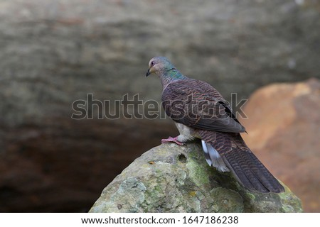 Barred cuckoo dove perching on a rock
