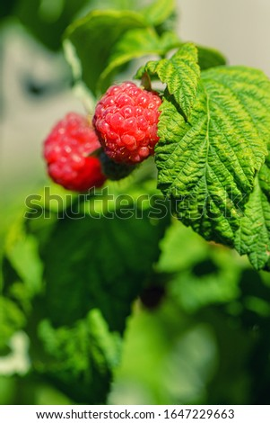 Photo of ripe raspberries on a branch. Raspberries in the sun. Raspberries on a branch in the garden. Red berry with green leaves in the sun.  #1647229663