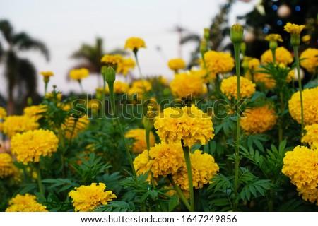 Marigolds shades of yellow bloom in the garden, (Tagetes erecta, Mexican marigold, Aztec marigold, African marigold). #1647249856