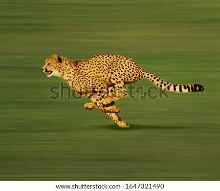 Cheetah, acinonyx jubatus, Adult running  #1647321490