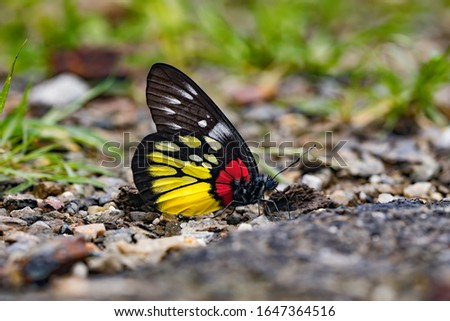 Delias pasithoe, the redbase Jezebel is a butterfly of the family Pieridae. The species is found in parts of South Asia and Southeast Asia. #1647364516