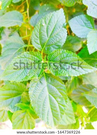 Lantana camara Leaves/leafs, other commons names are big-sage, wild-sage, red-sage, white-sage, tickberry, West Indian lantana, and umbelanterna #1647369226