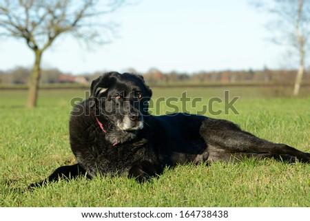 A  lying old black dog #164738438