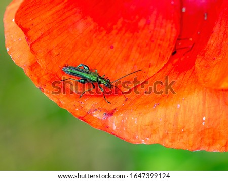 A male thick-legged flower beetle (Oedemera nobilis) pictured on a poppy petal during June