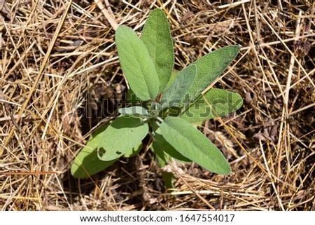 Sage, Kitchen sage, Small Leaf Sage, Garden Sage - Salvia officinalis, growing in a mulch bedding of dried straw. #1647554017