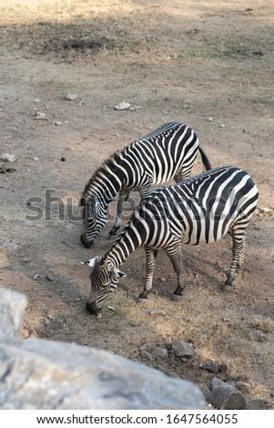 Couple back and white pattern of wildlife zebra in wildlife zoo #1647564055