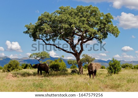 Elephants in the shade of a Marula tree, Kruger National Park. Clouds hanging in blue sky Royalty-Free Stock Photo #1647579256