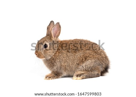 Furry and fluffy cute red brown rabbit erect ears are sitting look in the camera, isolated on white background. Concept of rodent pet and easter.