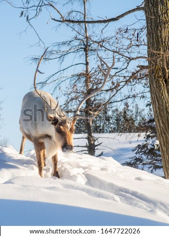 Boreal woodland caribou in the snow Royalty-Free Stock Photo #1647722026