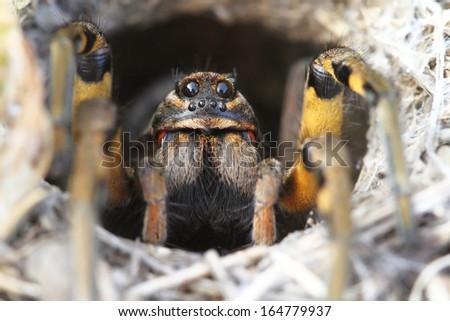 Spider Wolf (Lycosa tarantula) in its hole #164779937