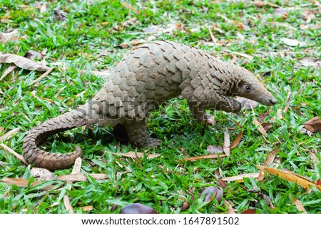 Java Pangolin (manis javanica) on green grass. It was smuggled in Asia. Because it is popularly consumed and its scales are an ingredient in Chinese medicine. Wildlife crime. #1647891502