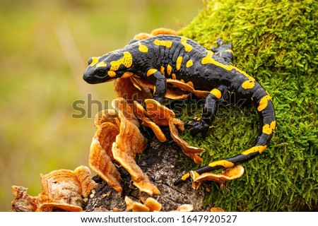 Fire salamander, salamandra salamandra, looking sideways from a moss covered tree in forest. Patterned toxic animal with yellow spots and stripes in natural habitat.