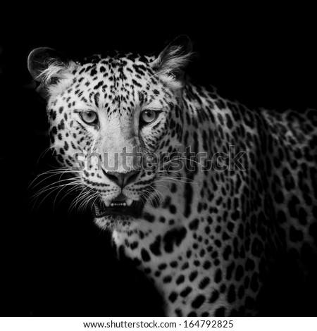 Leopard portrait #164792825