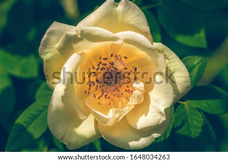 Beautiful floral background with a single big bud of yellow rose hip in the center of the picture. Close up view. One large dog-roses with stamens. The full face of ornamental flower under the sun.