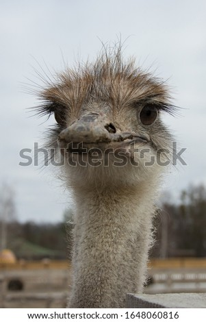 Ostrich, a flock of ostriches on an ostrich farm peeks out from behind a fence, portrait of a young african ostrich   #1648060816