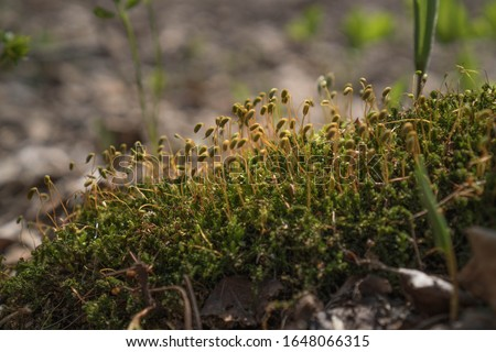 Bright green moss macro shot. Macro of moss with green spore capsules on orange stalks. Spring calm background #1648066315