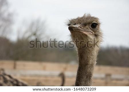 Ostrich, a flock of ostriches on an ostrich farm, portrait of a young african ostrich  #1648073209