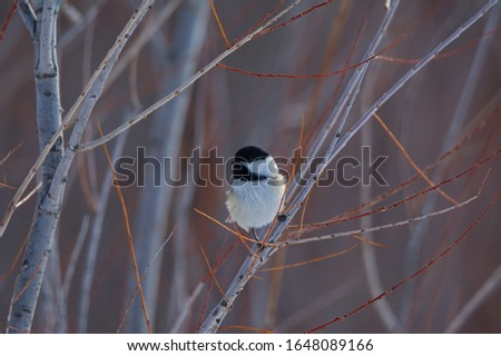 A Black-capped Chickadee (Poecile atricapillus) perched in amongst the willows in winter #1648089166