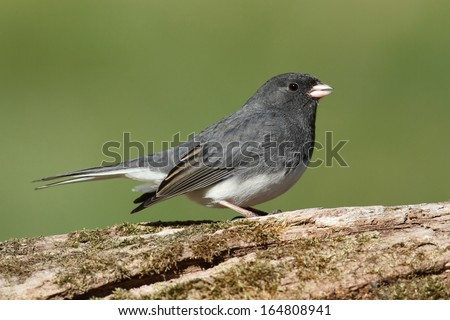 Dark-eyed Junco (hyemalis) on a stump with a green background #164808941