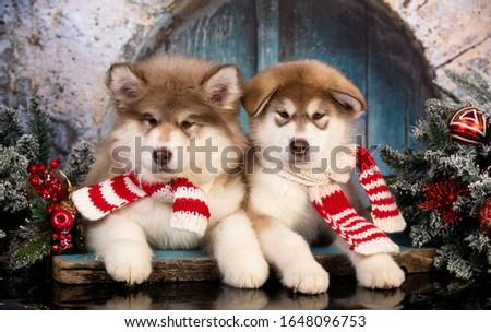 Puppy New Year's puppy Alaskan Malamute, Christmas dog Royalty-Free Stock Photo #1648096753