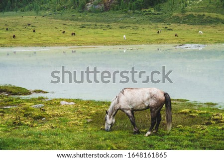 Gray horse grazes in meadow near river in mountain valley. White horse on grassland near mountain lake. Herd on opposite river bank. Many horses on far shore of lake. Beautiful landscape with horses.