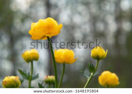 Yellow flowers of a globeflower at a forest edge close-up