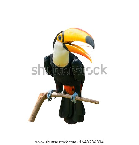 Toucan bird in tree branch on white isolated background