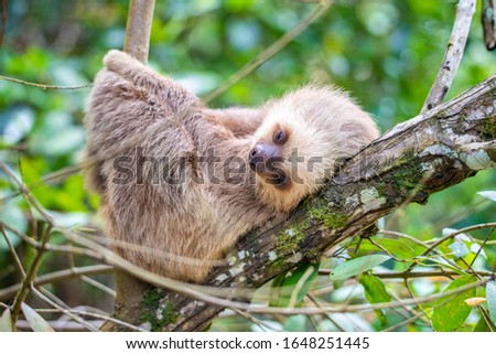 A 3 month old two toed sloth resting on a riverbank branch.