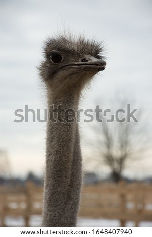 Ostrich, a flock of ostriches on an ostrich farm peeks out from behind a fence, ostrich portrait   #1648407940