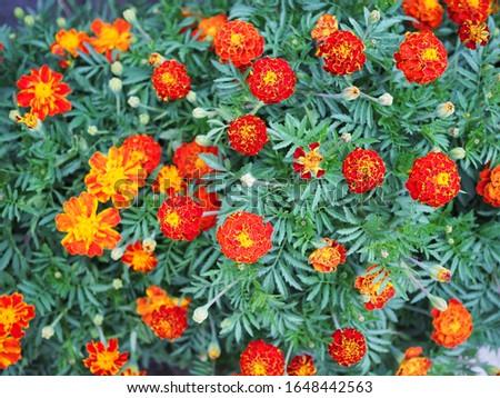 Marigolds Tagetes erecta, Mexican marigold, Aztec marigold, African marigold  #1648442563