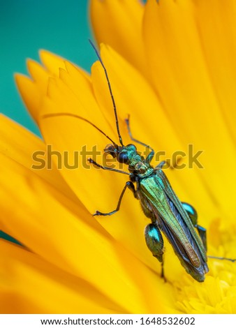 A macro shot of a male thick-legged flower beetle (Oedemera nobilis) pictured on a marigold flower