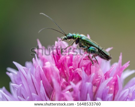 A macro shot of a male thick-legged flower beetle (Oedemera nobilis) pictured on an allium flower