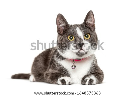 Crossbredeed cat wearing a bell, isolated on white Royalty-Free Stock Photo #1648573363